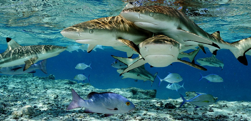 Sharks swimming on a reef