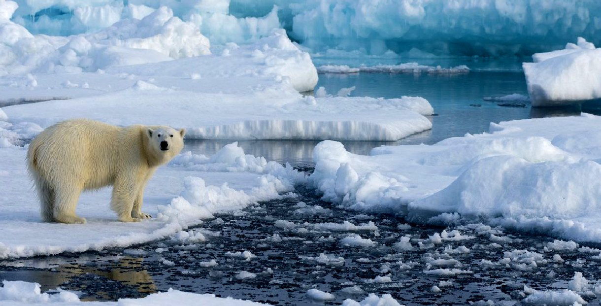 A polar bear on melting ice floes in the arctic
